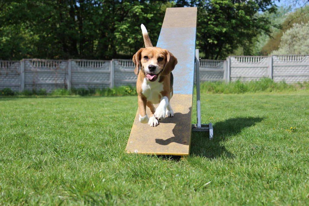 beagle huśtawka agility