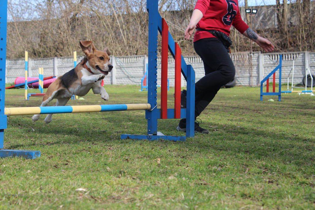 agility-beagle-jumping