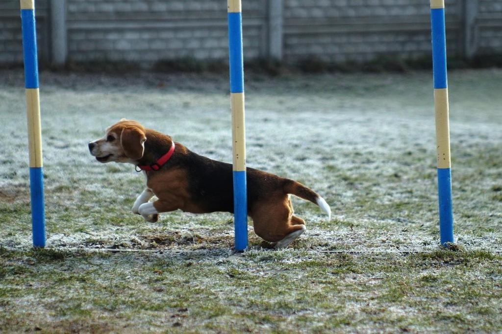 beagle tia slalom