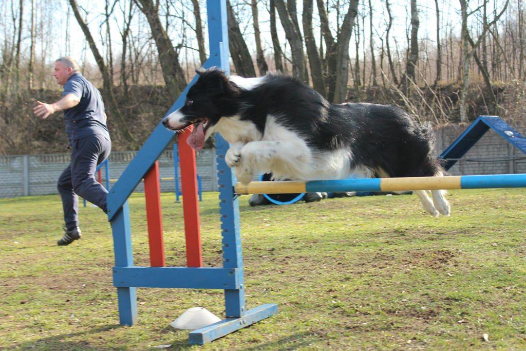 agility-border-colllie-jump