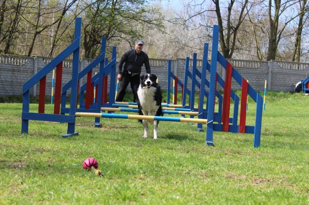 agility-border-collie-frida