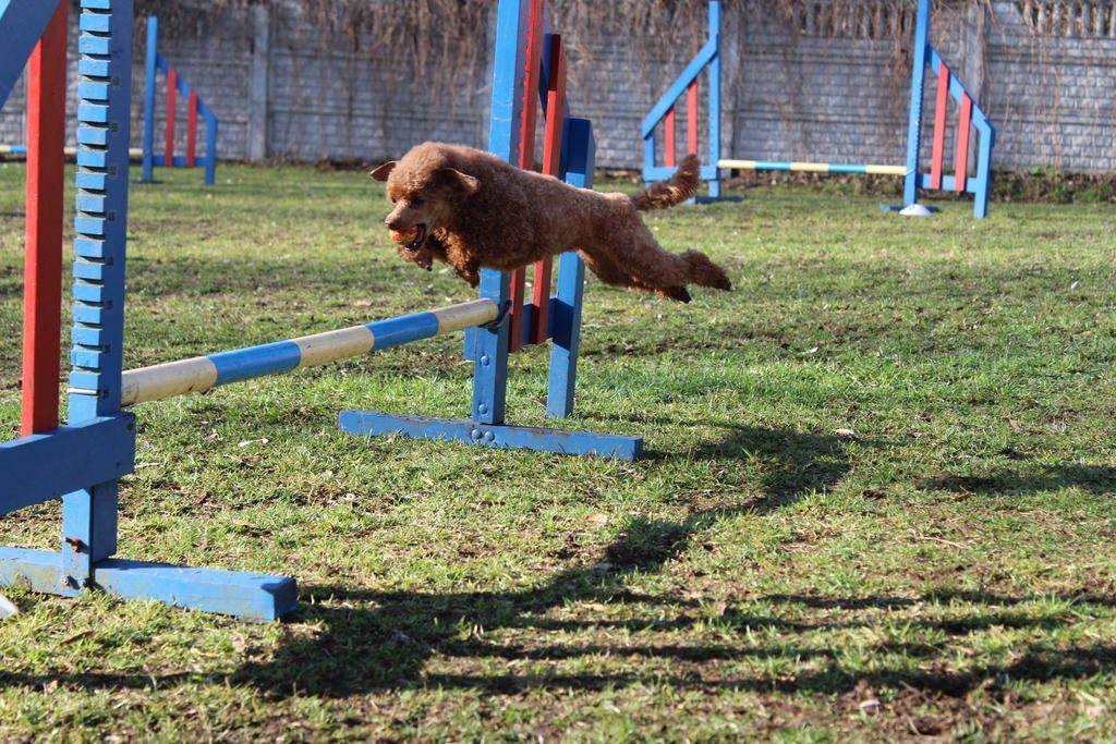 agility-jumping-toy-poodle