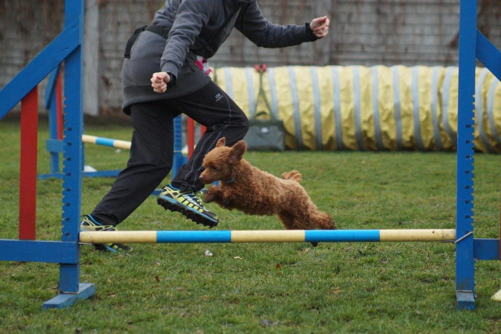 agility-pudel-toy