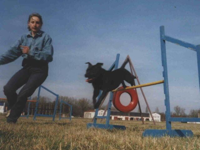 staffordshire bull terrier ambra agility