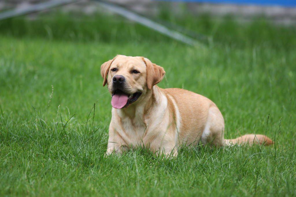 posluszenstwo-zostawanie-labrador