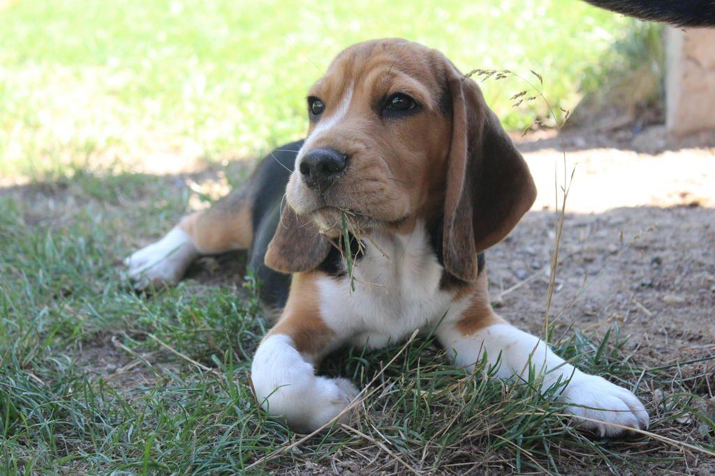 przedszkole-dla-szczeniat-beagle
