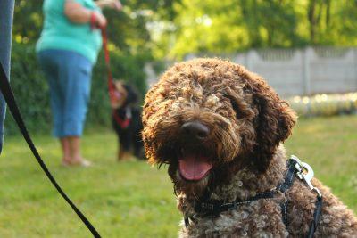 Kurs posłuszeństwa dla młodych psów